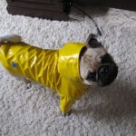 My Pug Louie In HIs Rain Coat